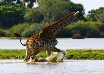 Fototapeta Wild giraffe running through water in Selous Game Reserve, Tanzania.