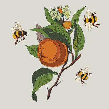 Botanical illustration of orange plant, bumblebees