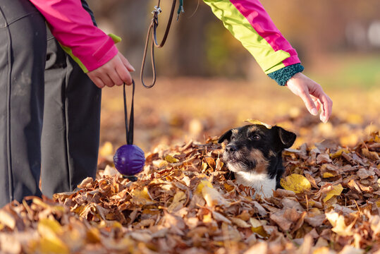 Dog owner plays with his Jack Russell Terrier in a foliage heap in autumn. They have a lot of fun together