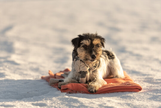 Small cute handsome Jack Russell Terrier dog with a scarf around his neck out in nature lies on a red blanket in the winter season.