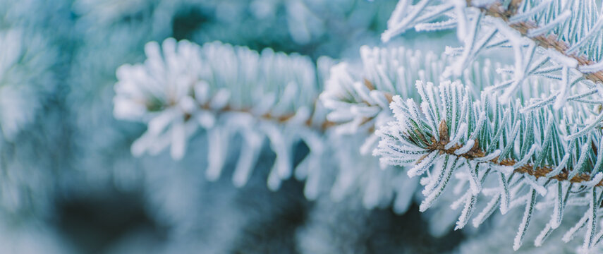 Winter panorama of fir branches with snow and frost on a light background for decorative design