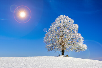 single big linden tree in winter with snow and frost
