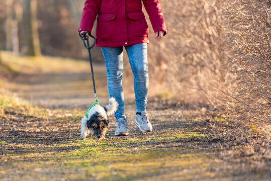 In autumn a  woman is  walking in the forest with a cute disobedient young small tricolor Jack Russell Terrier dog