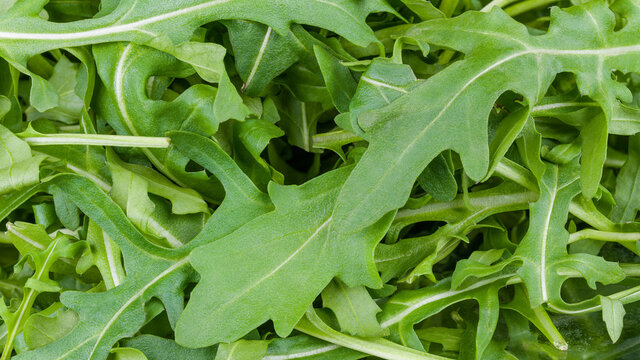 Detail of healthy green arugula leaves tangled in heap. Eruca sativa. Pile of raw leaf vegetable as culinary background. Fresh ruchetta. Bio salad greens full of vitamin K, A and C or calcium mineral.