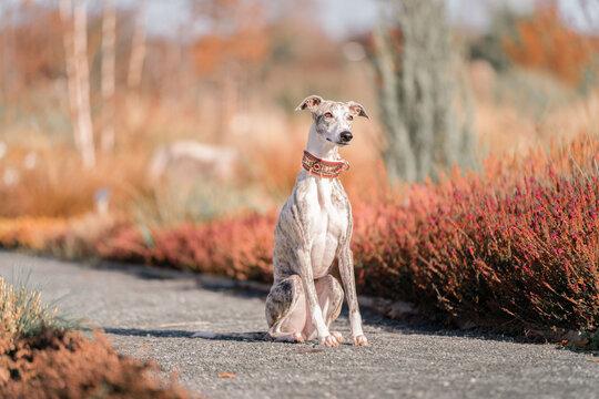 Windhund - Portrait einer hübschen Whippet Hündin