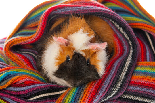 cute little guinea pig isolated on white