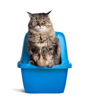 Cat using litterbox. Long hair senior  tabby cat balancing on the edge of the cat toilet with funny expression. Concept for litter trained, constipation or no private moment. Selective focus.