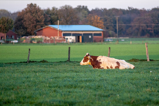 a cow lying in the grass