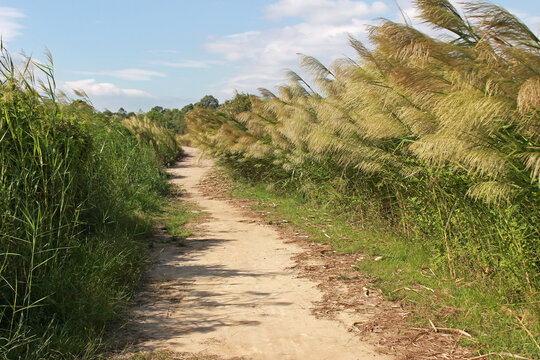 An empty footpath with long green grass to one side and pampas to the other against a blue sky background