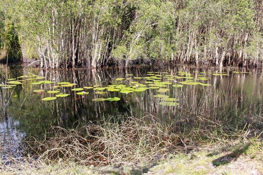 Nature background of a grassy river bank with water lilies and tropical trees