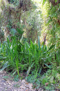 Green spiky plants in a tropical garden with sunlight shining on forest trees in the background.