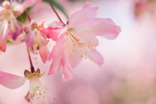 武蔵野中央公園の桜