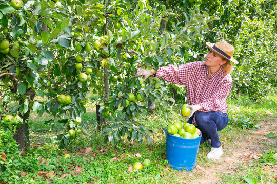 Confident woman harvesting ripe green apples at sunny fruit farm