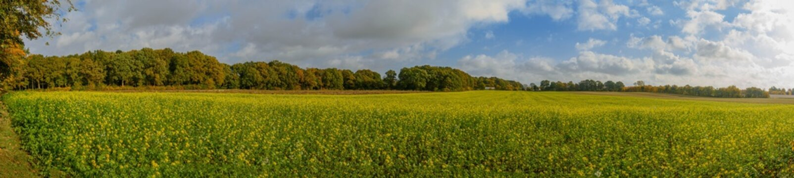 Panorama view of rural landscape with field mustard. Rural meadow covered with yellow flowers (Sinapis arvensis). Bee pasture of wild mustard which attracts insects and bee.