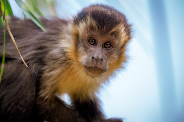 Closeup of tufted capuchin monkey (Sapajus apella), AKA macaco-prego into the wild in Brazil.