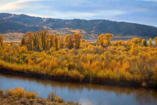 Colorado Aspen Trees in Autumn
