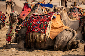 A camel smiles for the camera while lying down with other camels