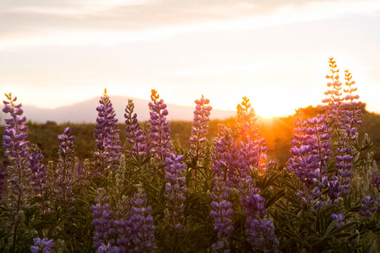 Close-up of wildflowers growing on field against sky during sunset