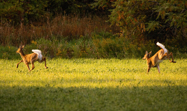 Two white-tailed deer flee through open field for cover to trees