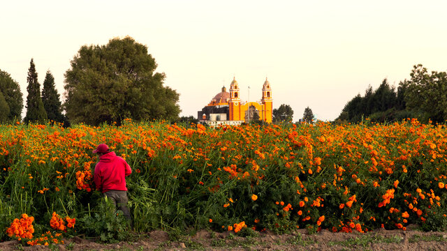 Farmer at cempasuchil flower field with church in background, Mexico