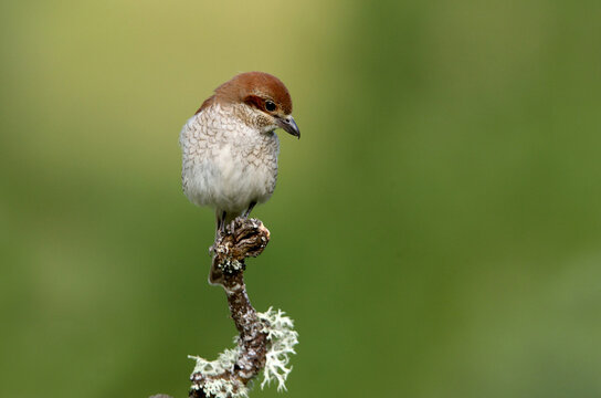 Red-backed shrike female in their breeding territory