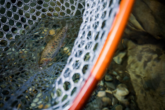 Fly fishing trout in net on Snoqualmie river Washington
