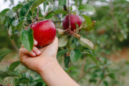 A child's hand reaches out to pick a beautiful red apple from a tree