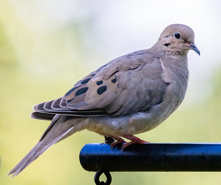 Portrait of a mourning dove perched on a pole