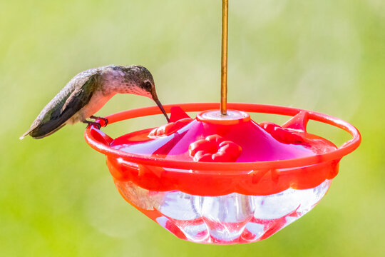 Ruby Throated Hummingbird Drinking Water from a Feeder