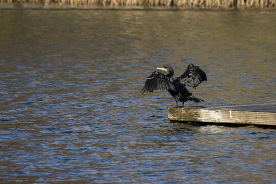 Cormorant with open wings at Cripplegate Lake