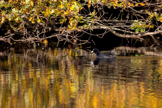 Coot swimming in golden reflections in Cripplegate Lake