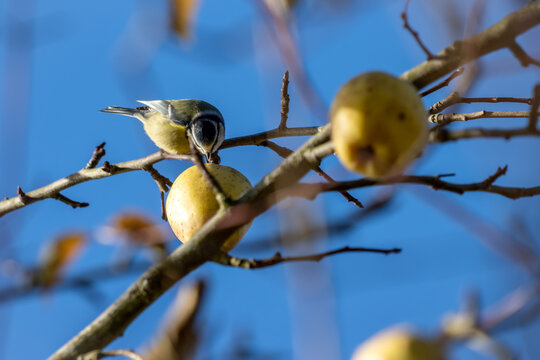 Blue Tit eating a wild apple on a sunny autumn day