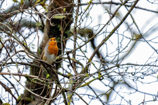 Robin singing in a tree on an autumn day