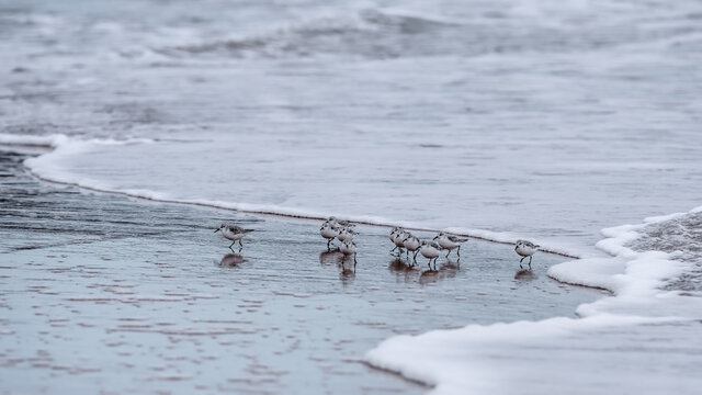 Sanderlings running with the surf on Brora beach