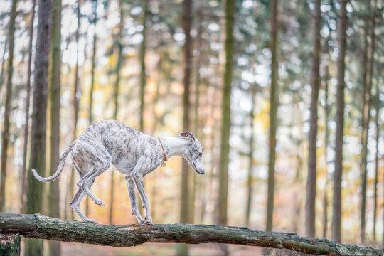 nicht die Balance verlieren - Whippet Hund balanciert auf einem Baumstamm