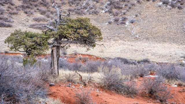old twisted juniper tree  at Colorado foothills in fall scenery - Red Mountain Open Space, recreational area maintained by Larimer County