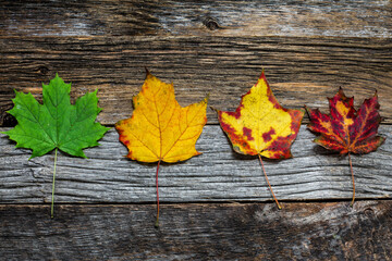 Four autumn colored leaves on wooden background close up