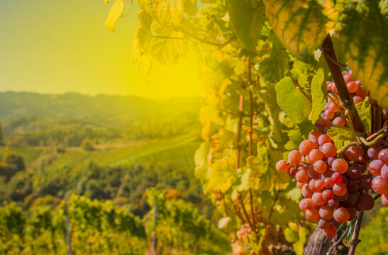 Ripe wine grapes in the vineyards along South Styrian Wine Road, a charming region on the border between Austria and Slovenia, before harvest