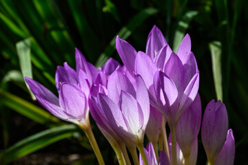Purple autumn crocus blooming in a garden highlighted by the sun, as a nature background