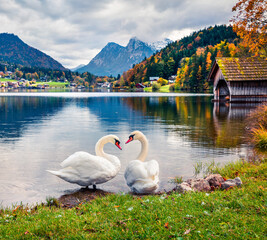 Two white swans on the Grundlsee lake. Amazing morning scene of Brauhof village, Styria stare of Austria, Europe. Colorful panorama of Alps. Traveling concept background.