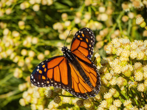 Close up shot of the beautiful monarch butterfly