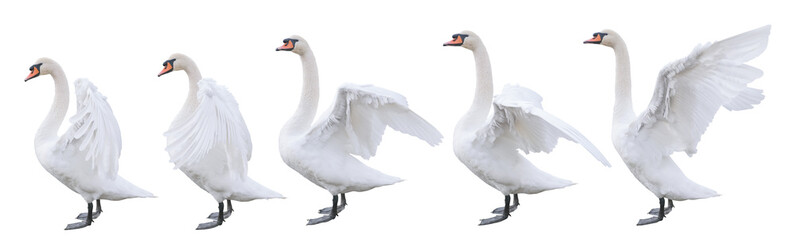 five beautiful white swans with different positions