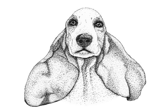 spaniel dog head hand drawn illustration. Ink black and white drawing, isolated