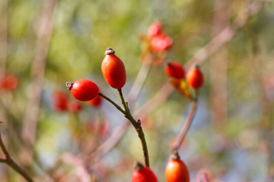 Frische rote Hagebutten am Strauch im Herbst. Früchte mit hohem Vitamin C Gehalt, Immunabwehr stärken und gesund bleiben