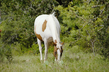 Wall Mural - Paint horse grazing in green rural pasture with trees background.