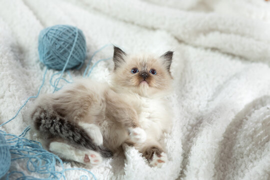fluffy kitten on white in a plaid. Bicolor Rag Doll Cat with blue ball
