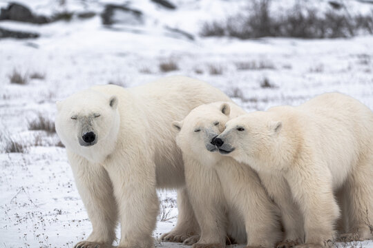 Polar bear mother and two cubs showing affection rubbing faces together in beautiful moment. Standing on snowy landscape in northern Canada arctic tundra landscape.