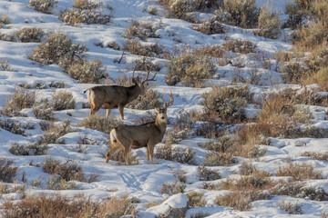 Wall Murals Deer Mule Deer Bucks in Wyoming in Winter
