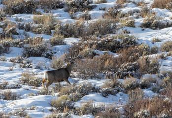 Wall Murals Deer Mule Deer Buck in a Snow Covered Landscape in Wyoming