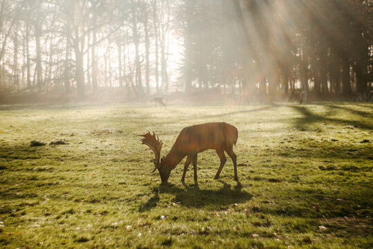 Male red deer pasturing in lawn in sunlight